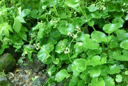 CIMG8718ワサビの花